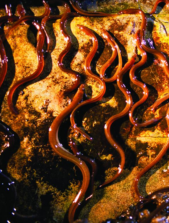 Price of adult eels in maine