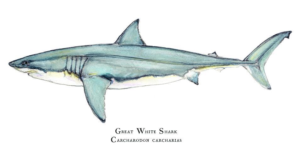 Mysterious Predators | Maine Boats Homes & Harbors