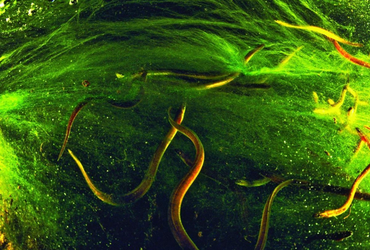 the secret life of eels maine boats homes u0026 harbors