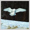 OwlSq.jpg