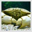 crab1T.jpg