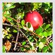 cranberriesT.jpg
