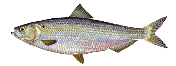 Blueback Herring