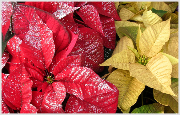 Painted Poinsettias